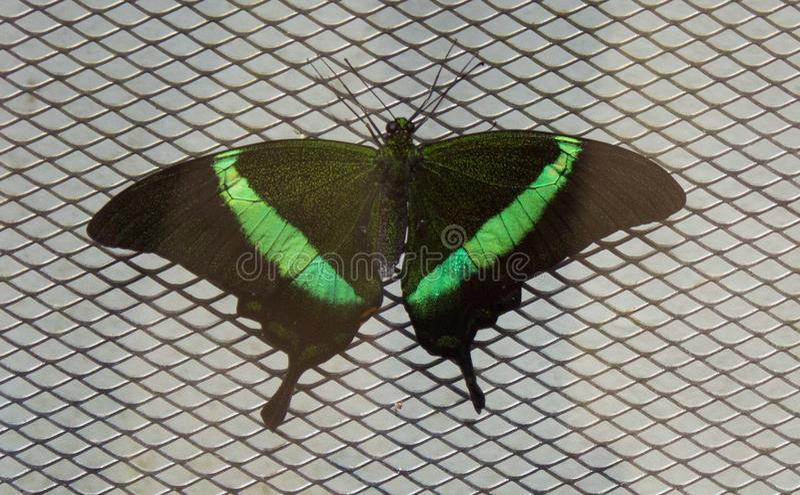 Papilio palinurus on the net royalty free stock photo