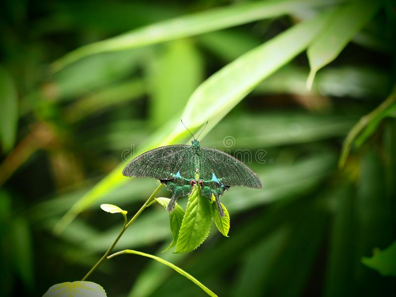 Papilio palinurus, gemensamma kända Emerald Swallowtail, Emerald Peac royaltyfri bild