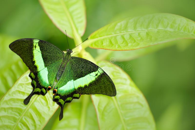 Papilio palinurus, Green emerald swallowtail butterfly. Insect in the nature habitat, sitting in green leaves, Indonesia, Asia. Wildlife scene from green royalty free stock photos
