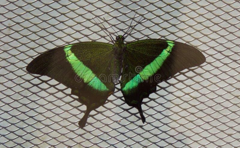 Papilio palinurus na sieci zdjęcie royalty free