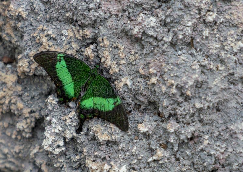 Papilio Palinurus sitting on stone/rock royalty free stock image