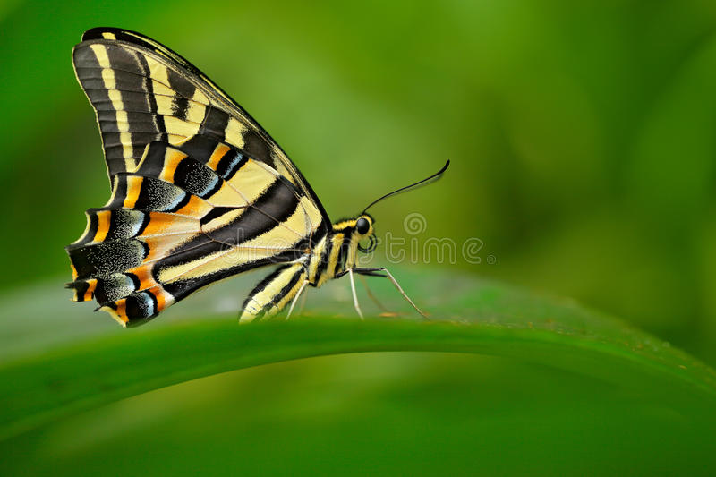 Papilio pilumnus, butterfly in the nature green forest habitat, South of USA, Arizona. Butterfly sitting on the green leave. Red i stock images