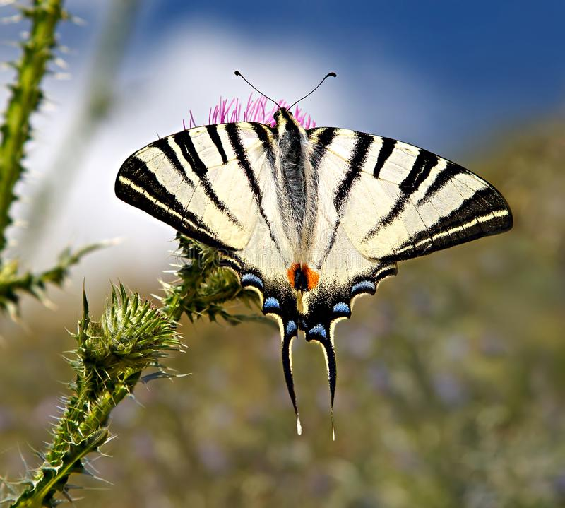 Butterfly scarce swallowtail or Iphiclides podalirius on a blossoming meadow stock photo