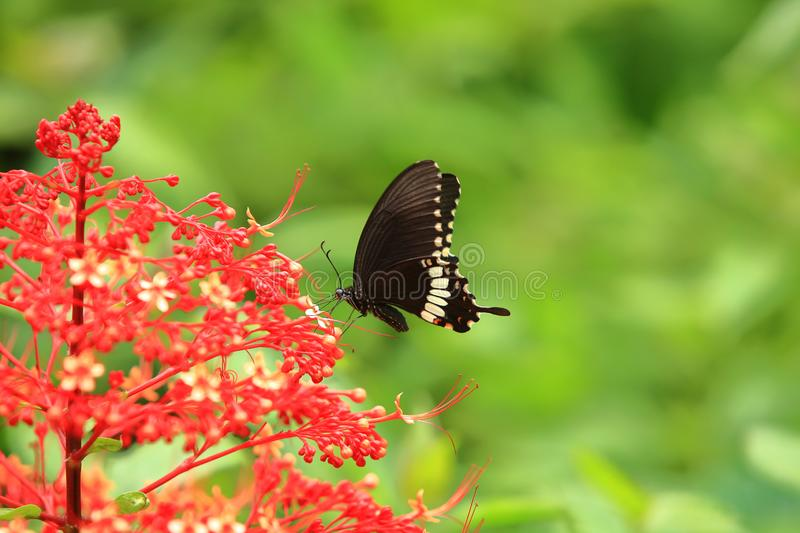 Butterflies of India-Papilio polytes, the common Mormon. Papilio polytes, the common Mormon, is a common species of swallowtail butterfly widely distributed royalty free stock photos