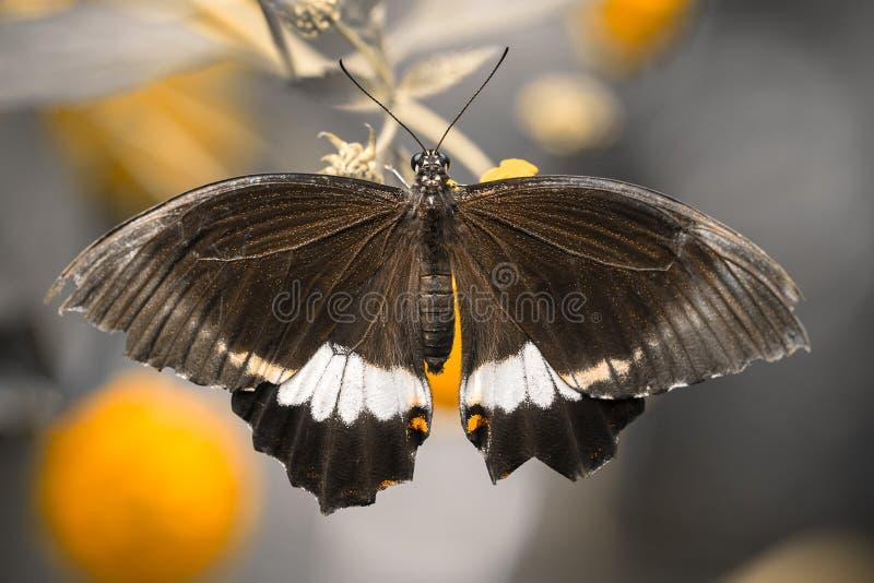 Papilio polytes mannelijke exotische vlinder royalty-vrije stock foto
