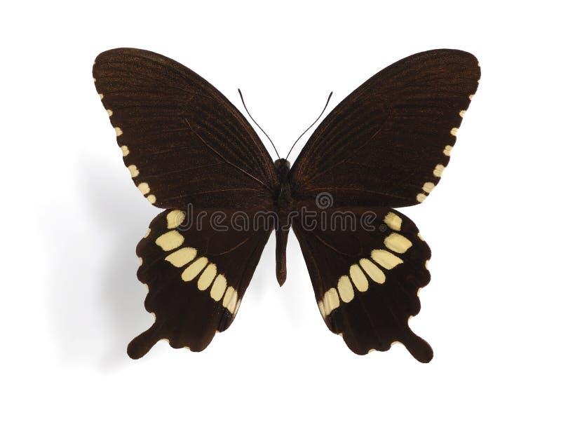 Papilio polytes (mannetje) royalty-vrije stock afbeelding