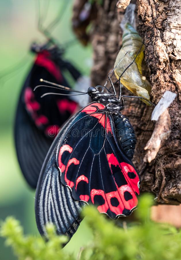 Papilio rumanzovia,猩红色摩门教或红色摩门教徒,蝴蝶 免版税库存图片