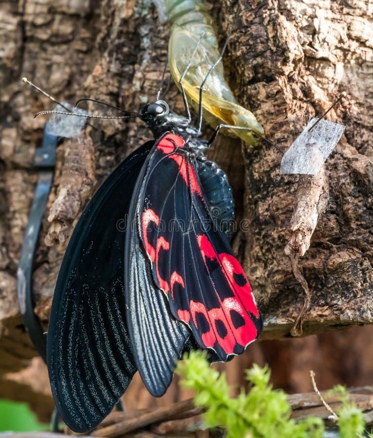 Papilio rumanzovia,猩红色摩门教或红色摩门教徒,蝴蝶 图库摄影
