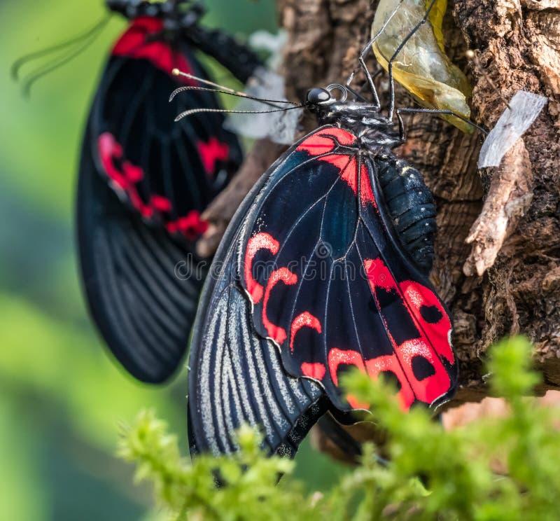 Papilio rumanzovia,猩红色摩门教或红色摩门教徒,蝴蝶 库存照片