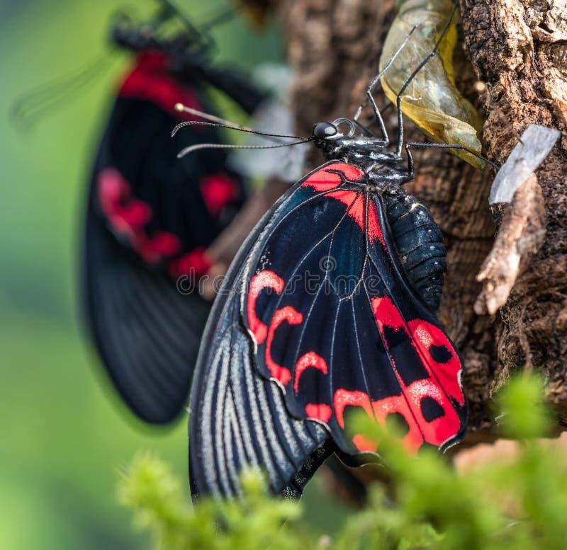 Papilio rumanzovia,猩红色摩门教或红色摩门教徒,蝴蝶 免版税库存照片