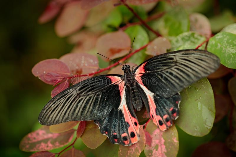 Papilio rumanzovia, beautiful black pink butterfly, Scarlet Mormon, Big and colourful insect on the green branch. Butterfly in nat. Ure forest habitat, Indonesia royalty free stock photos