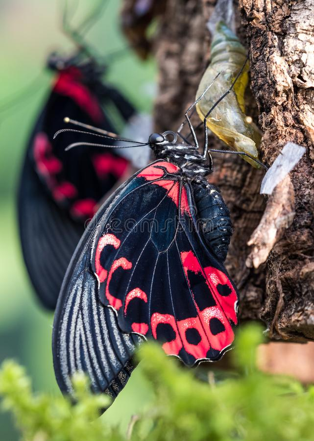Papilio rumanzovia, the scarlet Mormon or red Mormon, butterfly. Papilio rumanzovia, the scarlet Mormon or red Mormon, is a butterfly of the family Papilionidae royalty free stock photo