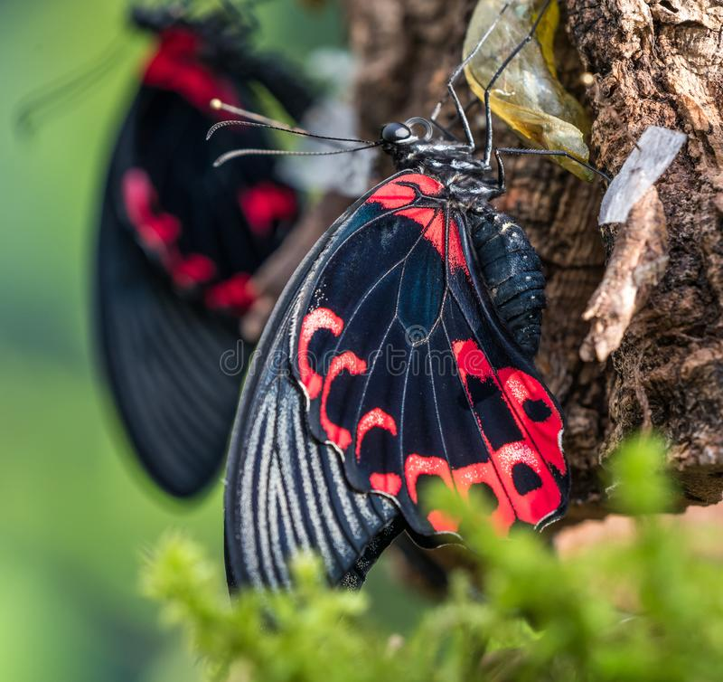 Papilio rumanzovia, the scarlet Mormon or red Mormon, butterfly royalty free stock image