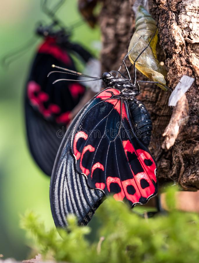 Papilio rumanzovia, the scarlet Mormon or red Mormon, butterfly. Papilio rumanzovia, the scarlet Mormon or red Mormon, is a butterfly of the family Papilionidae stock images