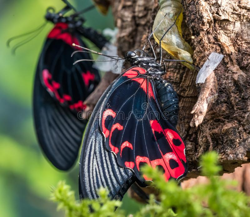 Papilio rumanzovia, the scarlet Mormon or red Mormon, butterfly. Papilio rumanzovia, the scarlet Mormon or red Mormon, is a butterfly of the family Papilionidae royalty free stock photos
