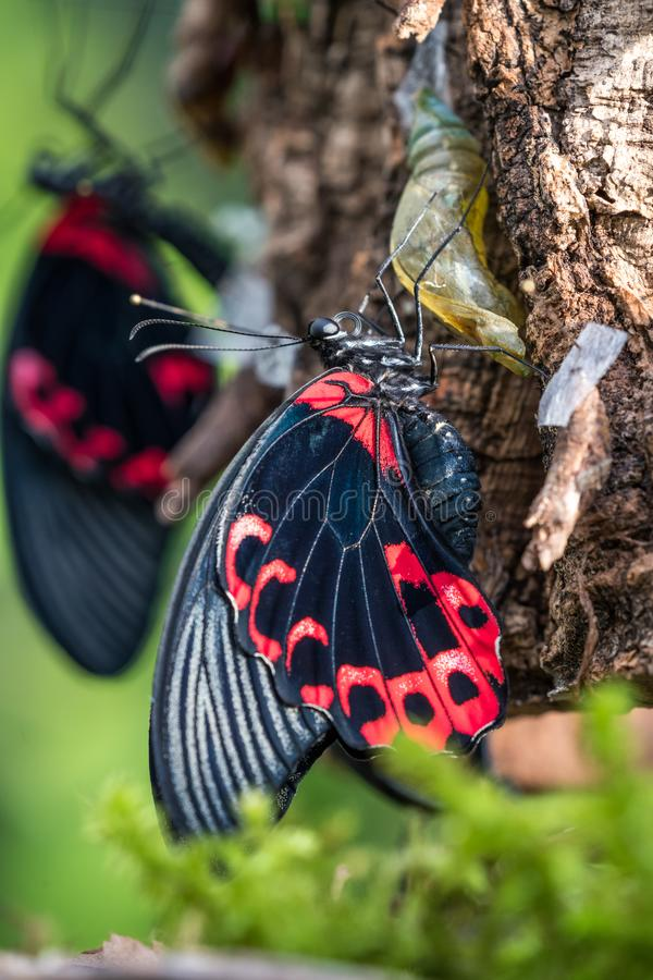 Papilio rumanzovia, the scarlet Mormon or red Mormon, butterfly. Papilio rumanzovia, the scarlet Mormon or red Mormon, is a butterfly of the family Papilionidae stock photography