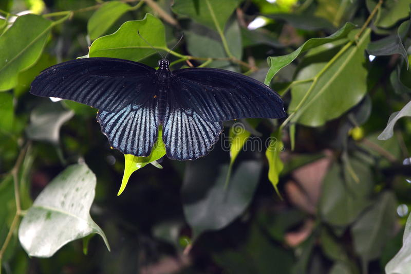 The Papilio rumanzovia - tropical butterfly.  royalty free stock image