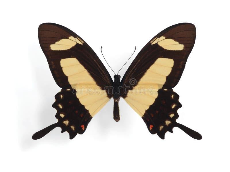Download Papilio Torquatus Royalty Free Stock Photos - Image: 18272608