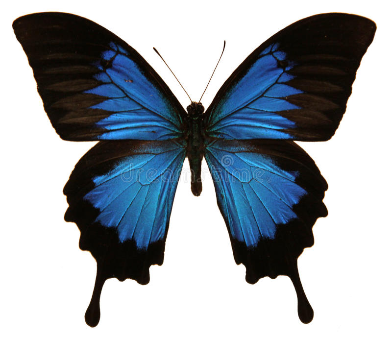 Papilio Ulysses Butterfly Stock Photos