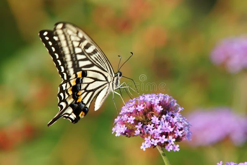 Papilio Xuthus Royalty Free Stock Photo