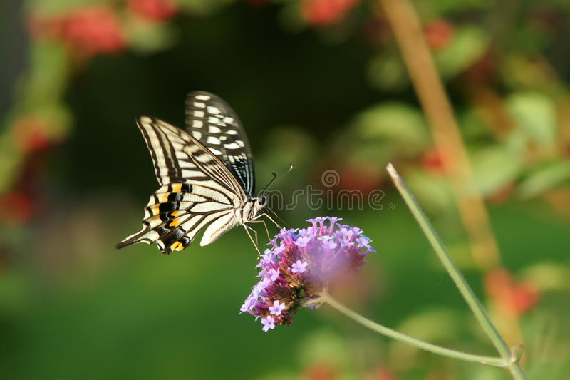 Papilio xuthus stock images