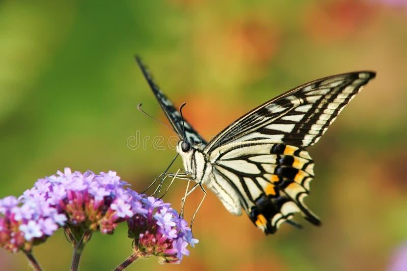 Papilio xuthus royalty free stock images