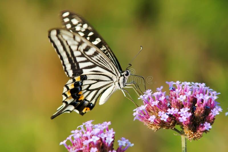 Papilio xuthus stockfotos