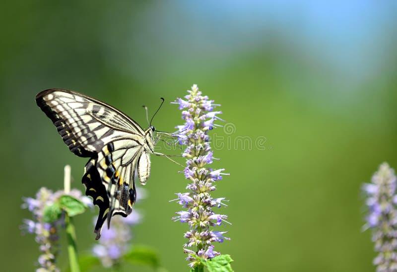 Download Papilio xuthus linnaeus stock illustration. Image of pattern - 26213976