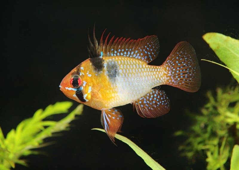 Papiliochromis Ramirezi lizenzfreies stockfoto