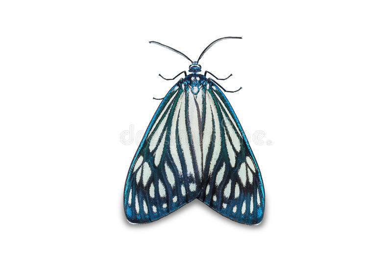 Papilionarismot van Cyclosia van het Drury` s Juweel royalty-vrije stock afbeelding