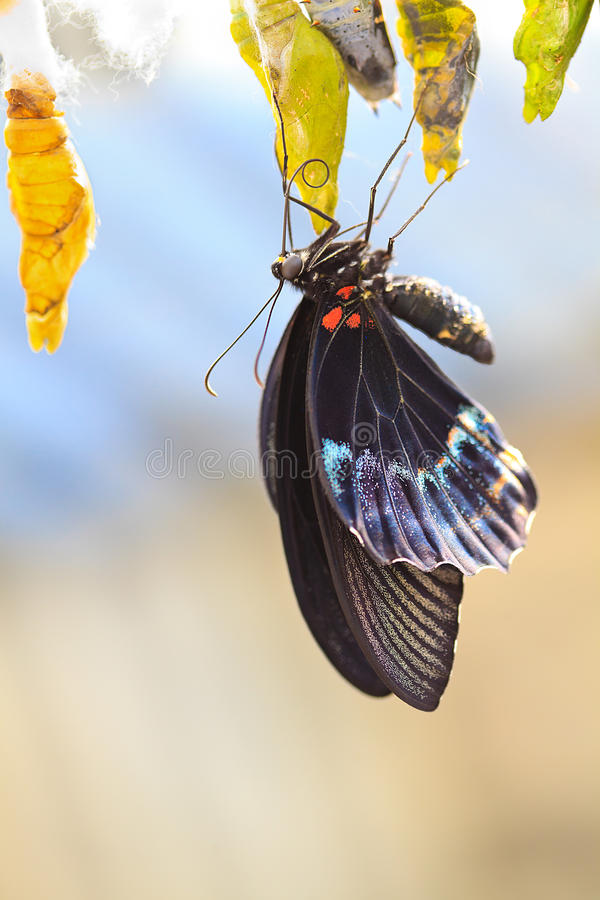 Papilionidae fotos de stock royalty free
