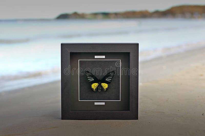 Papilionidae fotografia stock