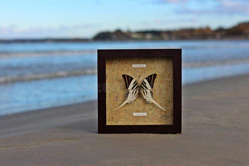 Papilionidae immagini stock libere da diritti