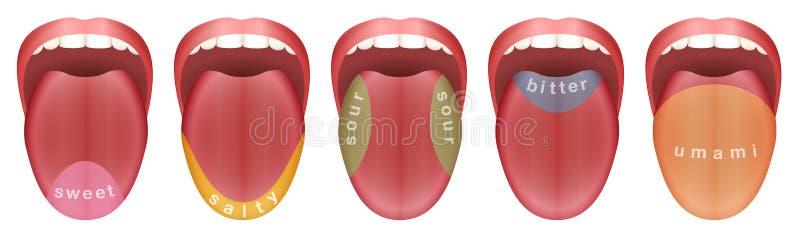 Papilles gustatives Umami amer aigre salé doux de langue illustration libre de droits