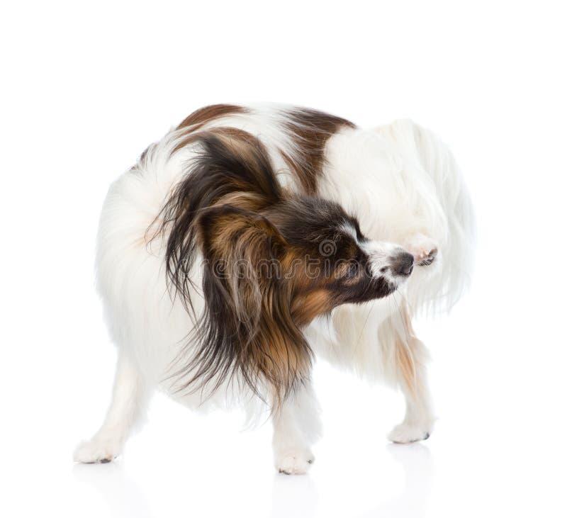 Papillon小狗抓 背景查出的白色 图库摄影