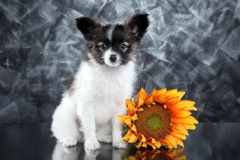 Papillon小狗用向日葵 免版税库存图片