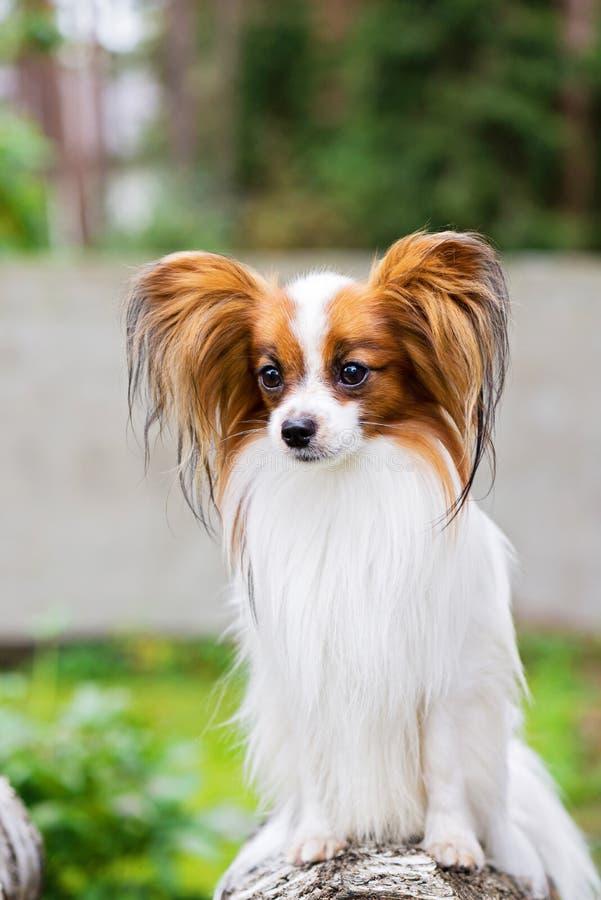 Papillon狗的画象 免版税库存照片