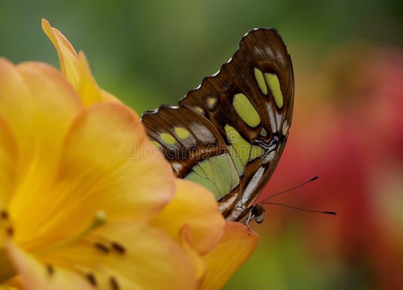Papillon émergeant de la fleur photo libre de droits