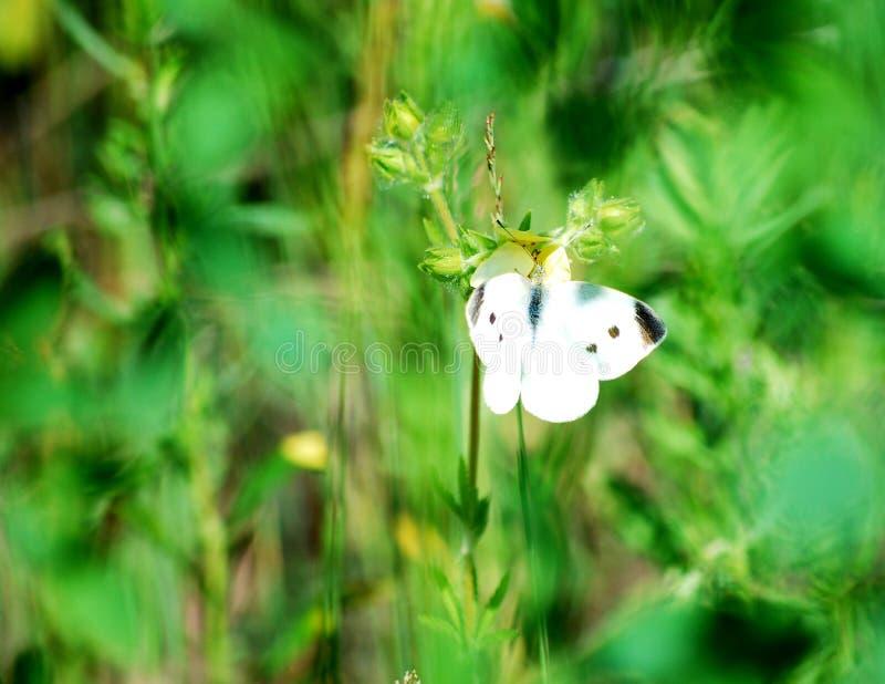 Papillon été perché sur une tige photographie stock libre de droits