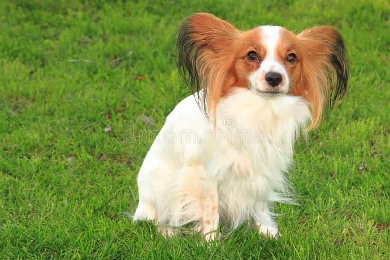 papillon σκυλί στη χλόη στοκ φωτογραφία