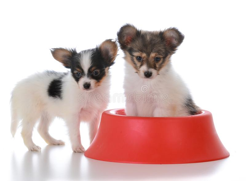 papillon σύντροφοι απορριμάτων με ένα πιάτο σκυλιών στοκ εικόνα με δικαίωμα ελεύθερης χρήσης