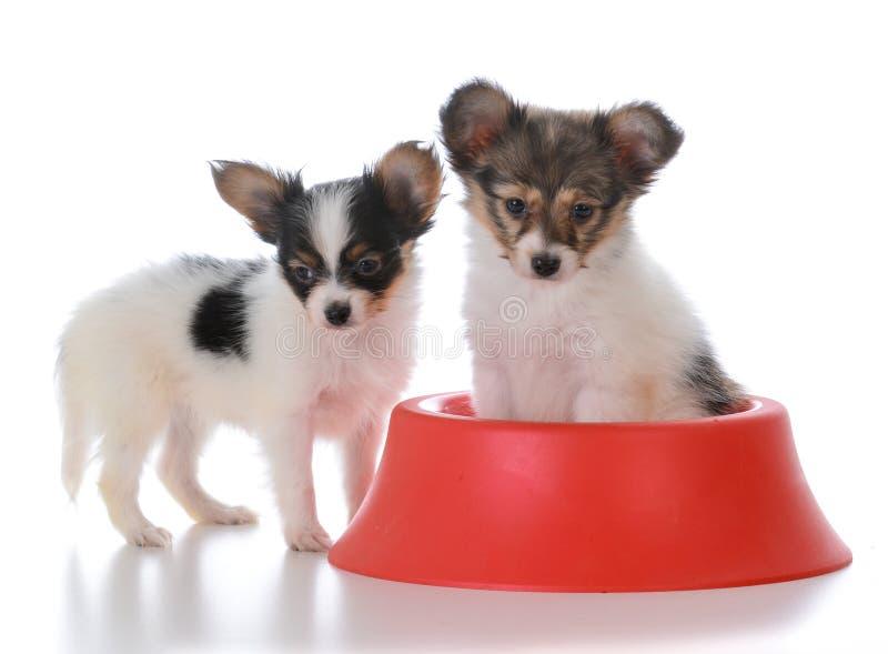 papillon σύντροφοι απορριμάτων με ένα πιάτο σκυλιών στοκ φωτογραφίες
