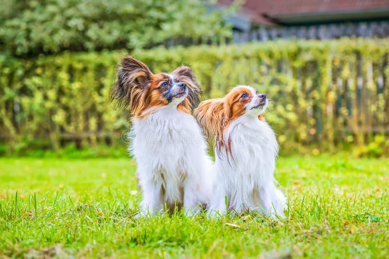 Το πορτρέτο ενός papillon τα σκυλιά στοκ εικόνα με δικαίωμα ελεύθερης χρήσης