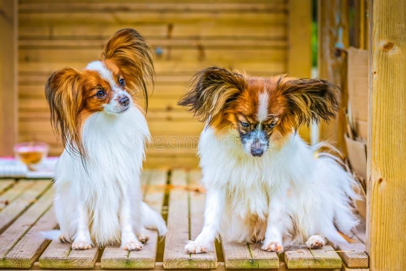Το πορτρέτο ενός papillon τα σκυλιά στοκ φωτογραφίες με δικαίωμα ελεύθερης χρήσης
