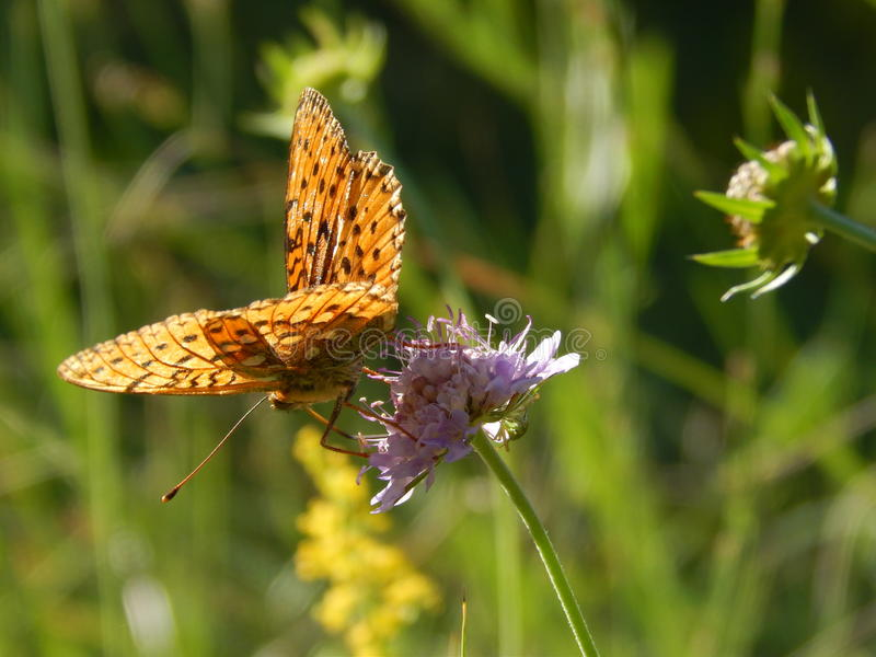 Papillon photos libres de droits