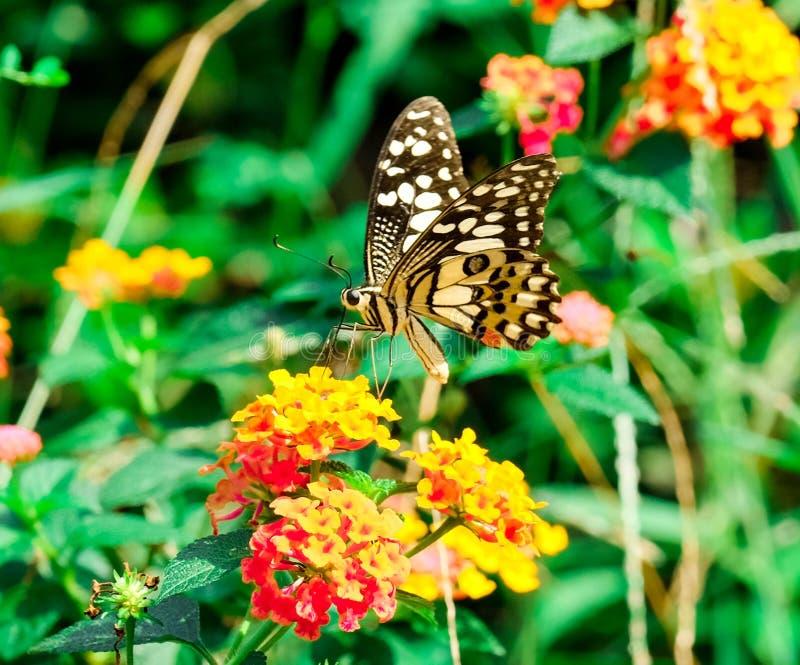 Papillon images libres de droits
