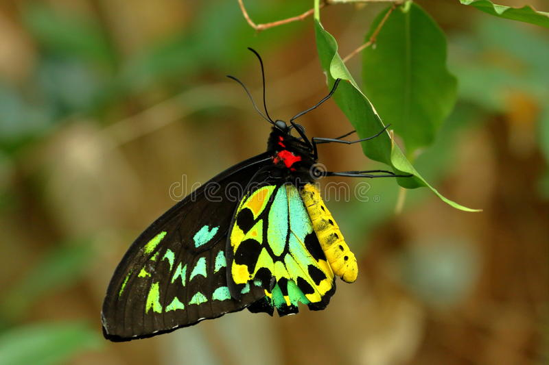 Papillon images stock