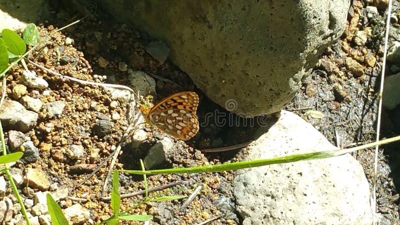 Papillon image stock
