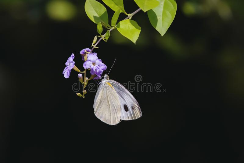 Papillon accrochant sur des fleurs photographie stock libre de droits
