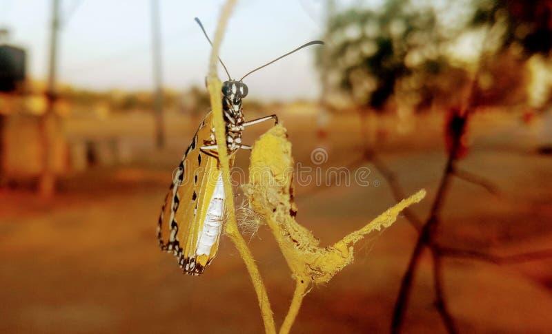 Papillon africain de reine photographie stock